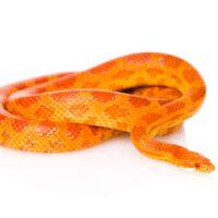 Livestock Φίδια