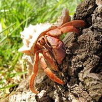 Crabs - Καβούρια